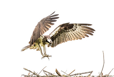 The Patuxant River Ospreys
