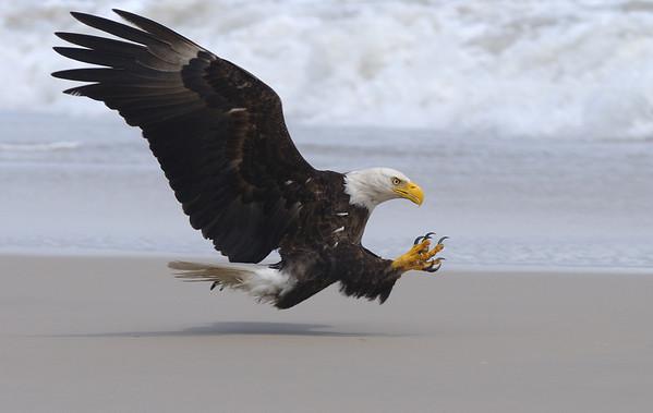 Assateague Island Eagles