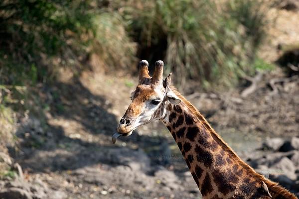 Giraffe's