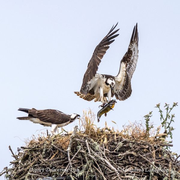 _DSC2600Osprey with fish.jpg
