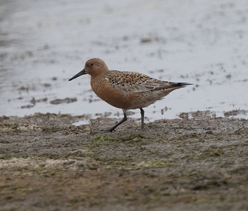 Red Knot Calidris canutus