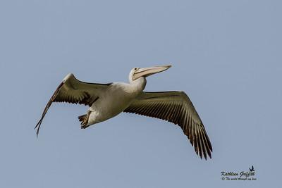 Pelicans, Storks & Cranes