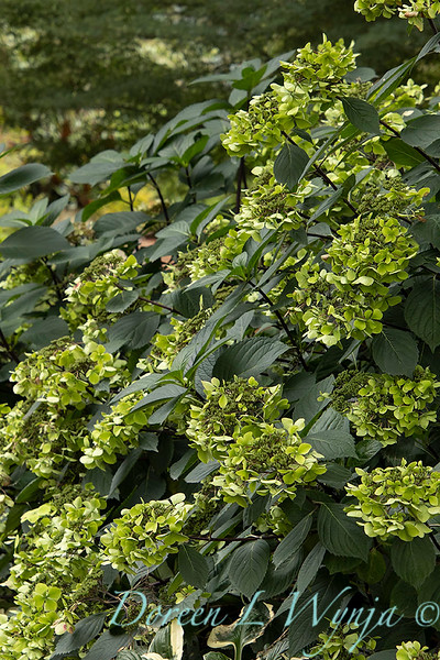 9275 Hydrangea macrophylla 'Monmar' Blue Enchantress in a landscape_2588.jpg