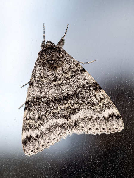 moth on glass Wolfville.jpg