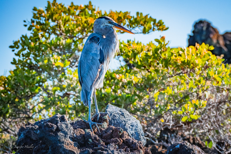 Blue Grey Heron in morning light.jpg