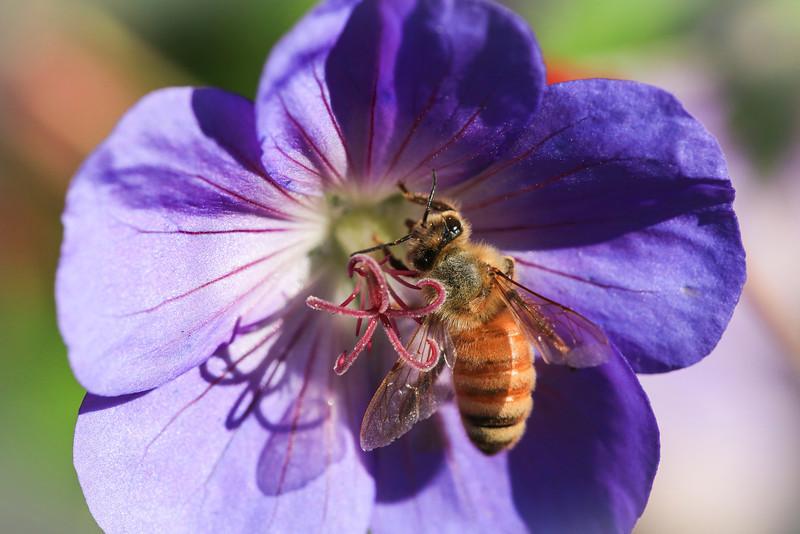 Bee Macro-0303.JPG
