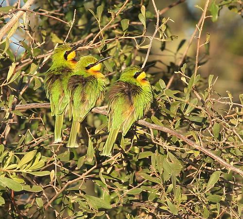 Bee Eater Botswana 2008 2010