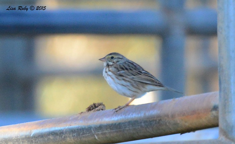 Sparrow not sure what kind, maybe Savannah? - 1/17/2015 - Leon Ave