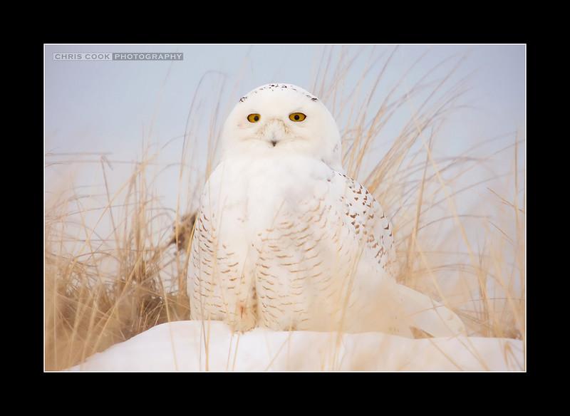 snowy-owl-2.jpg