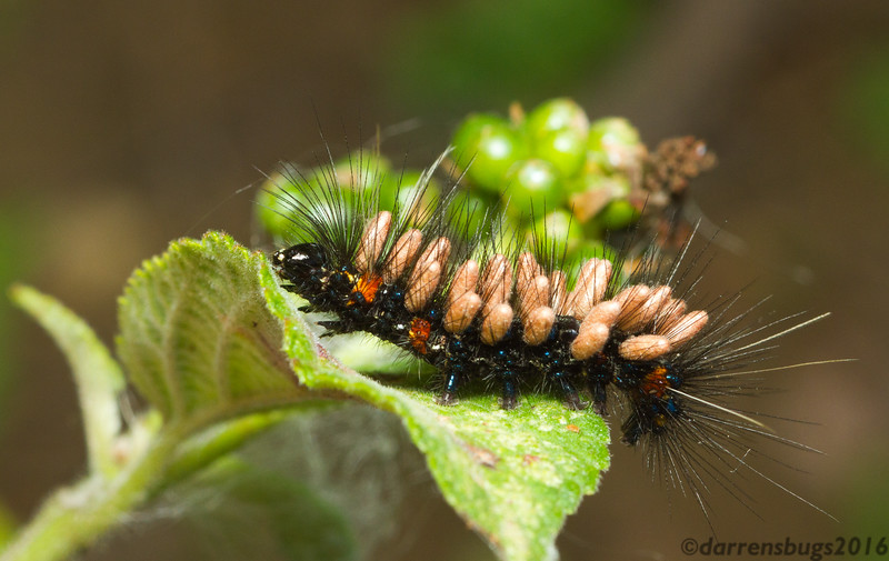 Unknown caterpillar parasitized by braconid wasps from Monteverde, Costa Rica.
