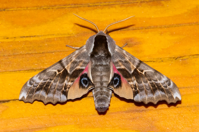 Sphinx-One-eyed-(Smerinthus cerisyi)- Dunning Lake - Itasca County, MN