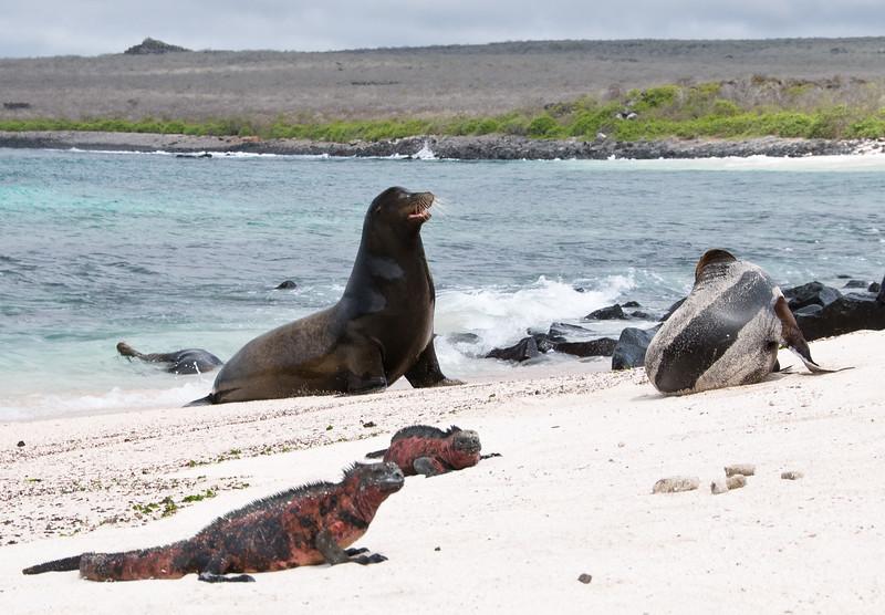 Marine Iguanas and Sea Lions at Punta Suarez, Espanola Island