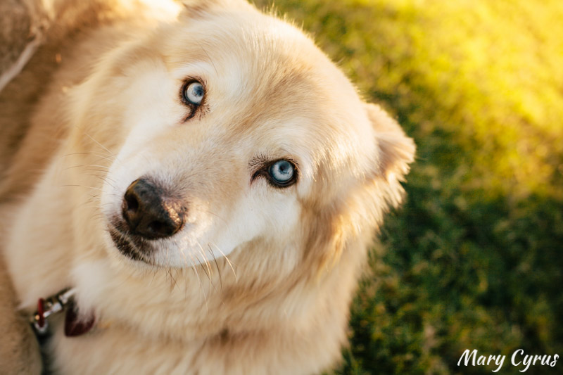 Blue-Eyed Husky Mix | Dog Portrait by Mary Cyrus Photography in Dallas, Texas