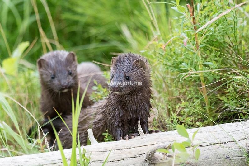 Mink siblings