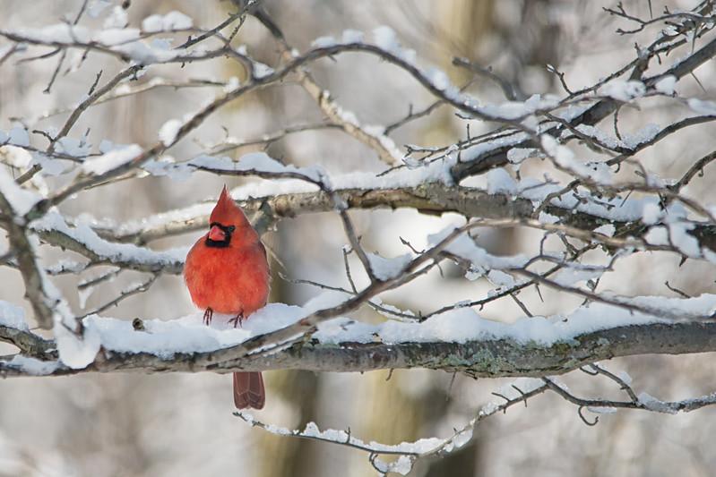 Cardinal in comfort.jpg