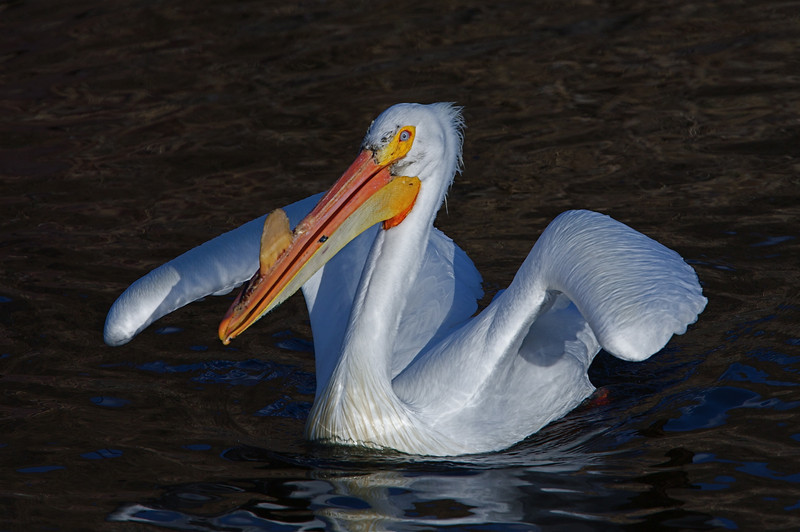 White Pelican just taking off at the Klamath NWR