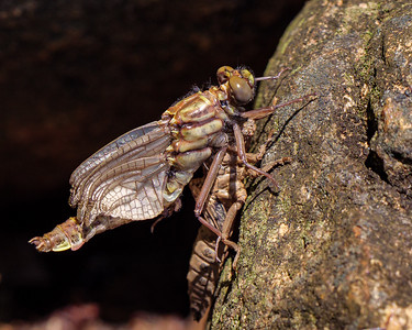 Rock Dragonfly morph