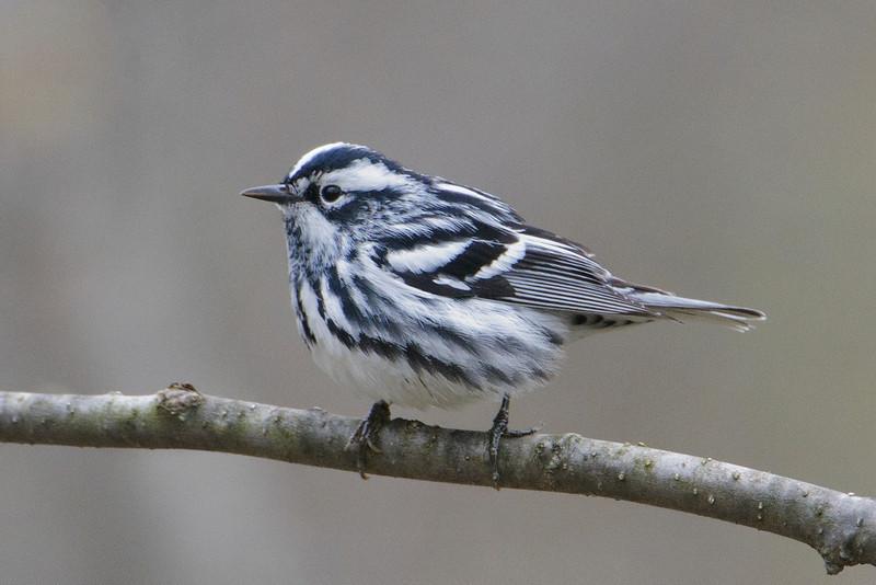 Warbler - Black and White - Dunning Lake, MN