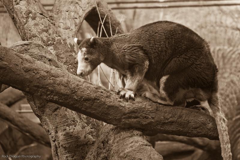 Matschie's Tree Kangaroo, Calgary Zoo Dec. 27
