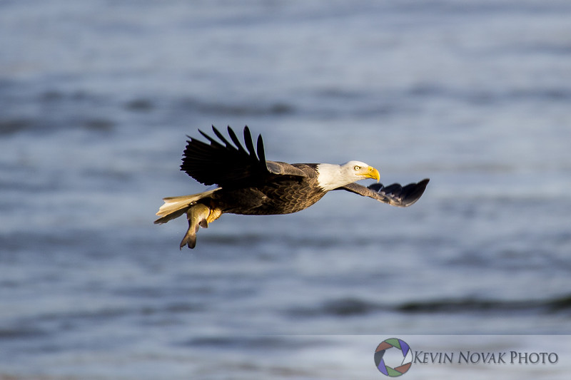 Bald Eagle with its catch at Conowingo Dam, Darlington, MD.
