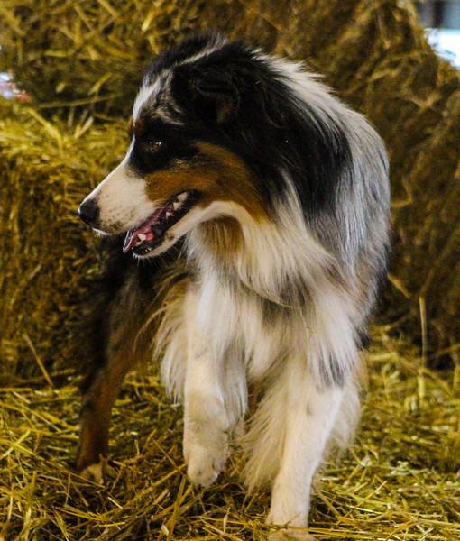 WiggleButts Barn Hunt Fall 2018 Porter County Fairgrounds