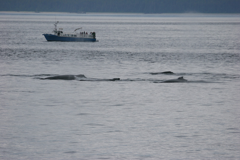 small boat gets very close to humpbacks (that's not us)