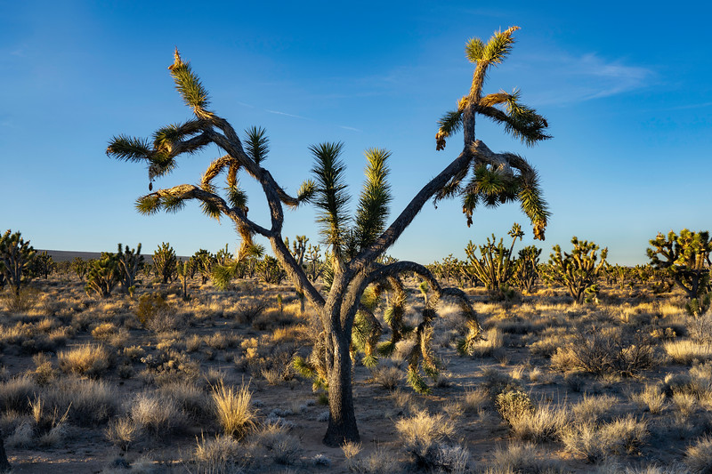 Joshua Tree in Mojave National Preserve