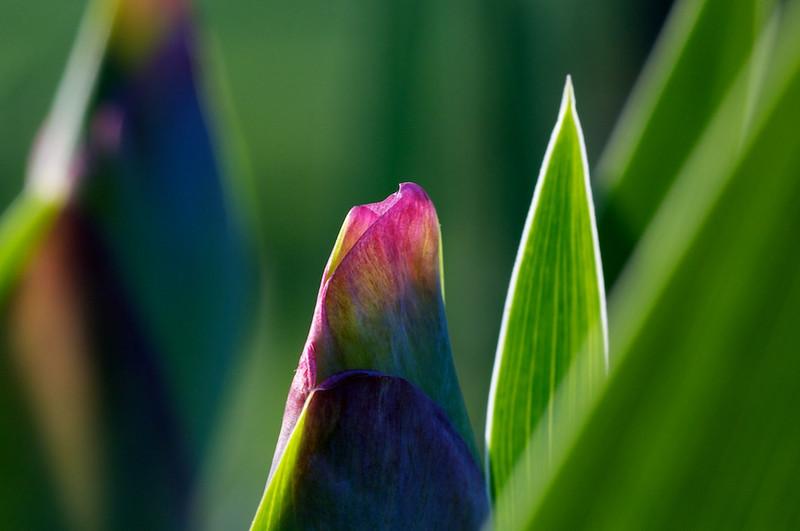 Iris - soon to bloom