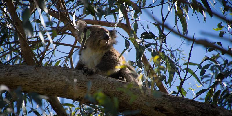 The koala mum