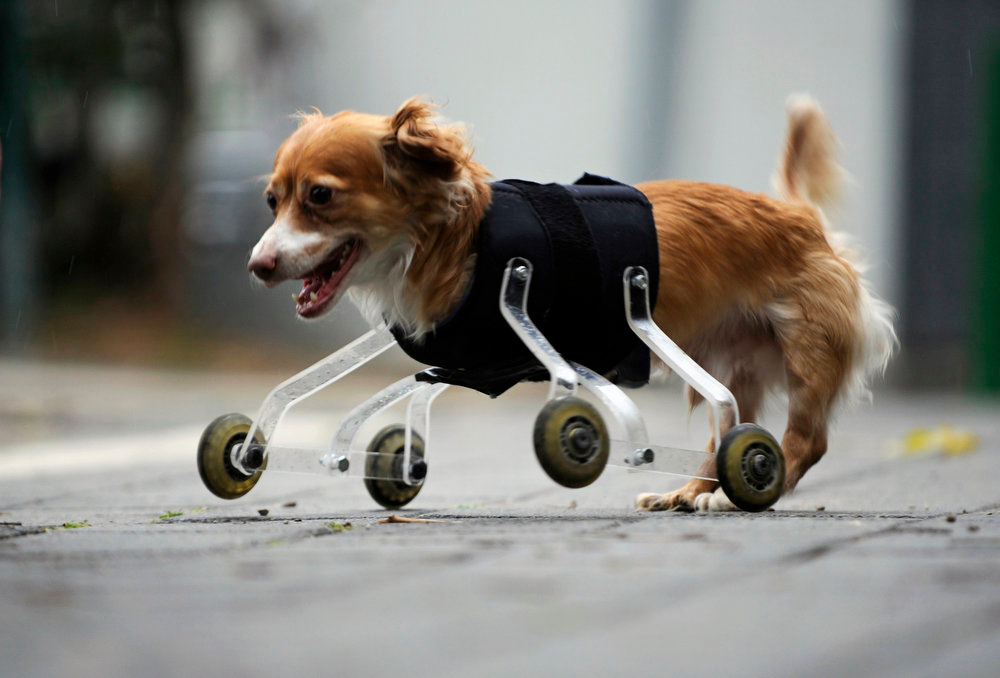 Description of . Hoppa, a four-year-old mixed breed dog born without front legs, uses a prosthetic device to walk outside in the central Israeli city of Tel Aviv on February 28, 2010. The device was invented especially for Hoppa by an animal-loving art student, who hopes his wheeling device will improve the lives of pets born with abnormalities or with amputated limbs. REUTERS/Amir Cohen