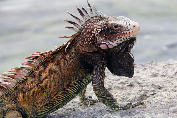 Iguana By The Sea