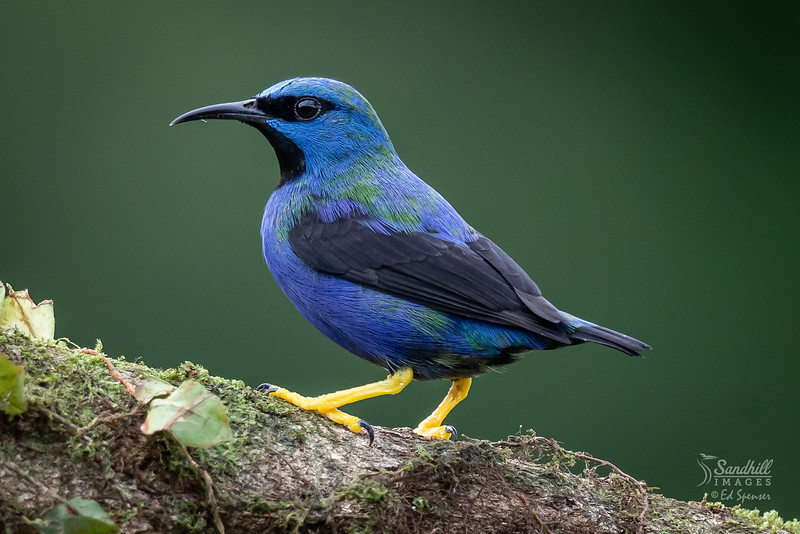 Shining honeycreeper, male, immature
