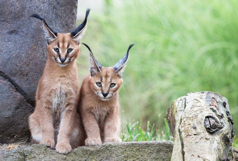 Caracal kittens.jpg
