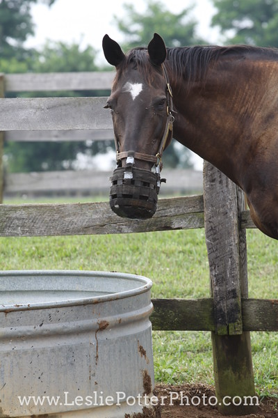Horse in Grazing Muzzle Standing by Water Trough