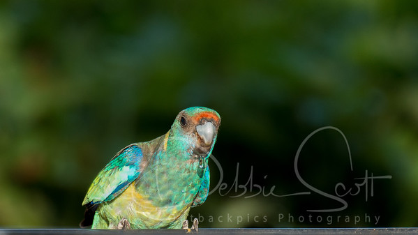 Parrots & Cockatoos