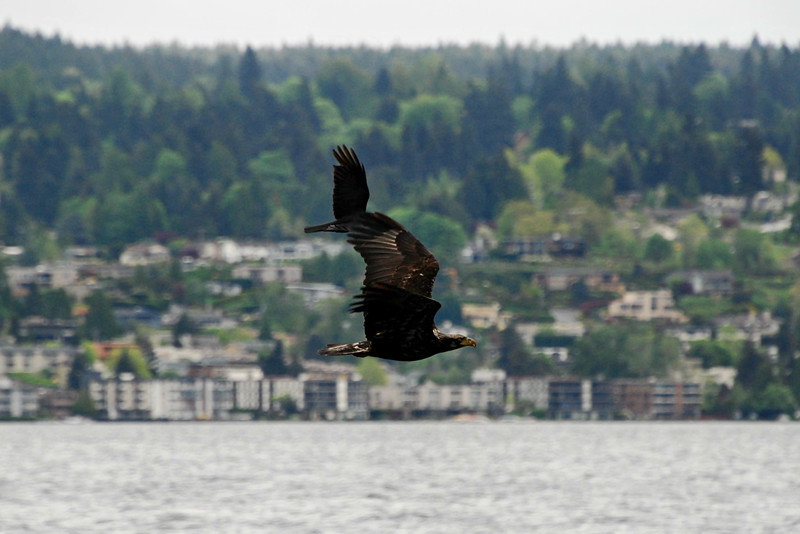 Juvenile Bald Eagle being chased by an American Crow, Seattle