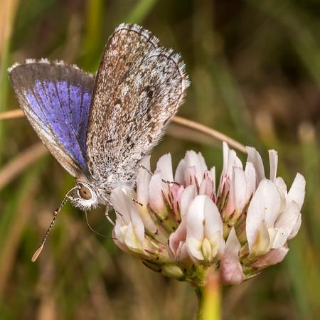 Zizina oxleyi - Southern blue