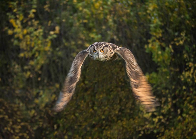 Mike Crowley Owl in Flight.jpg