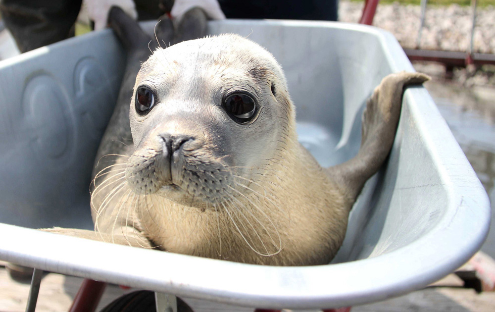 . A seal in a wheelbarrow at the seal station in Friedrichskoog, Germany, July 25, 2013.  AFP PHOTO / DPA / WOLFGANG RUNGE