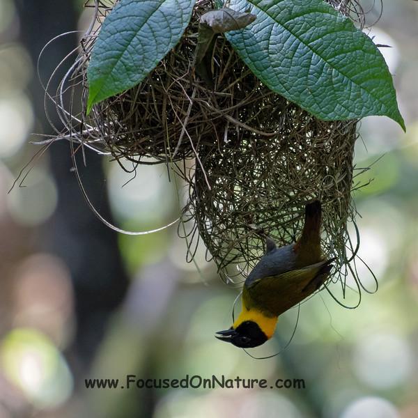 Nelicourvi Weaver and Nest