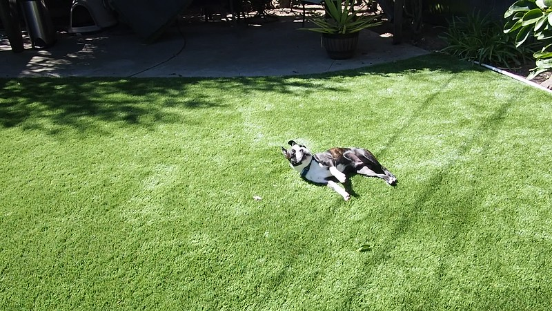 VIDEO: Bucky having a roll in the grass