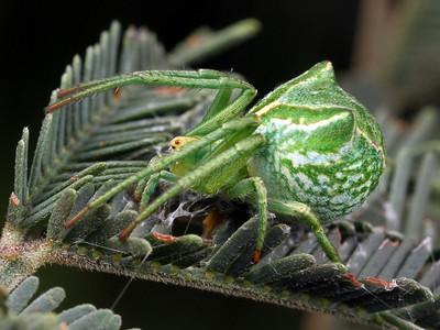 zz Unplaced Araneidae