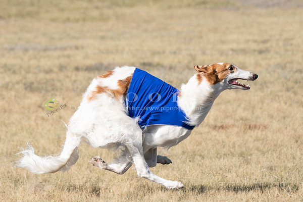 LureCoursing_ROCKY MOUNTAIN BORZOI CLUB
