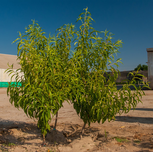 Photos showing the 3 in space of 1 tree planting. Three peach trees in this combination.  Exactly 4 months after planting