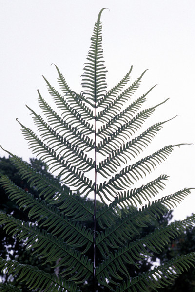 "Pteris excelsa This image is licensed under the Creative Commons Attribution-NonCommercial 3.0 Unported license.  You may share and adapt this work, but only with attribution (""by Hank L. Oppenheimer"") and only for non-commercial purposes unless permission is obtained from the copyright-holder (contact webmaster@hear.org)."