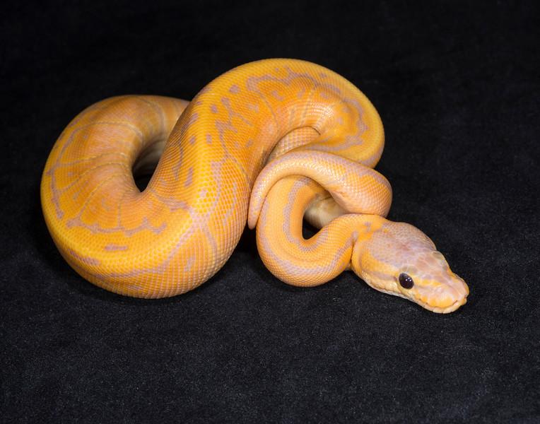 075MBCP, male Banana Cinnamon Pinstripe?, sold Hannah