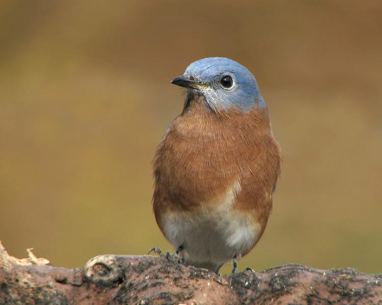 bluebird_7130.jpg