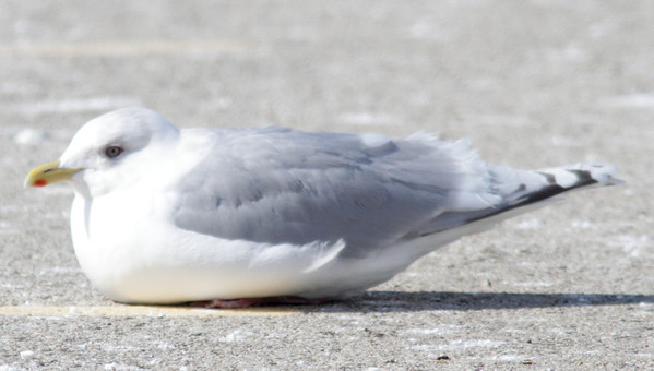 2014 Kumlien's & Thayer's Gulls - Lake Co. Fairgrounds