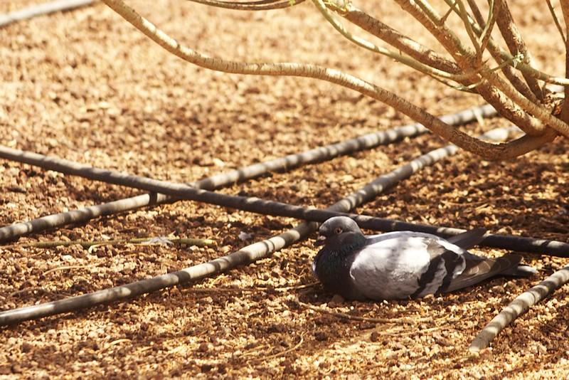 Líný holub v detailu