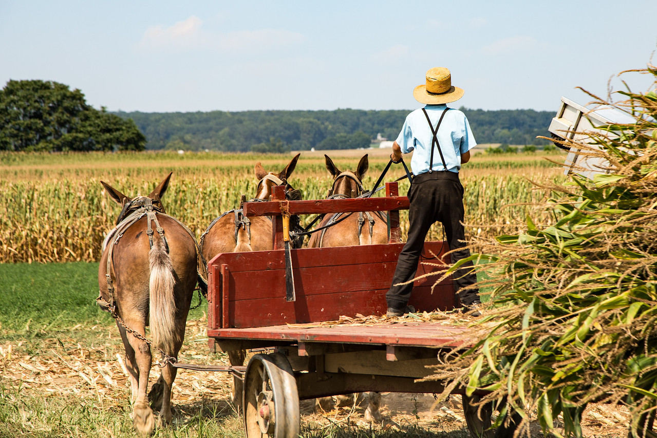 Photo: Corn Harvest in Pennsylvania Amish Country